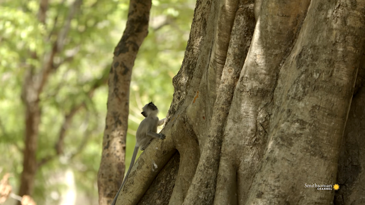 A Baby Monkey Figures Out How to Best Climb a Tall Fig Tree Without Any Help From His Watchful Mother