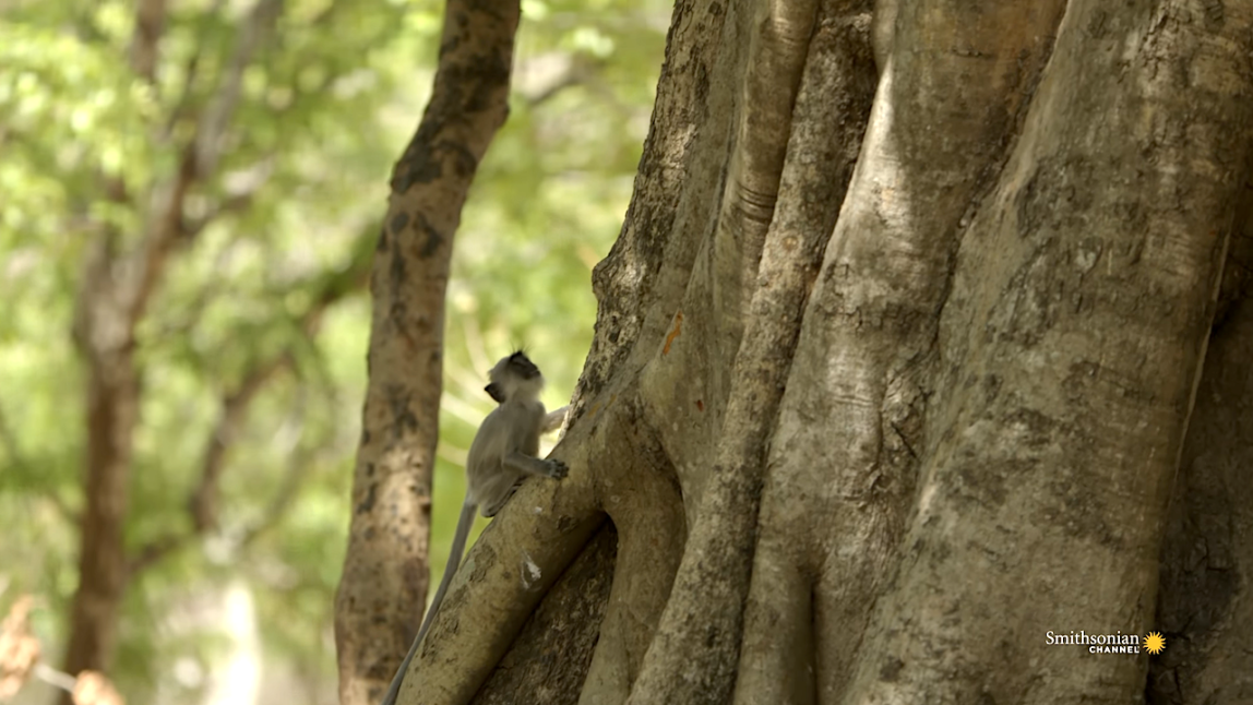 Baby Monkey Figures Out How to Climb a Fig Tree