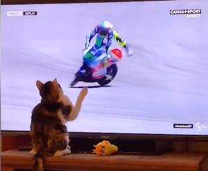 Calico Cat Knocks Motorcyclist off bike