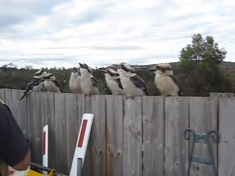 Kookaburras Laughing