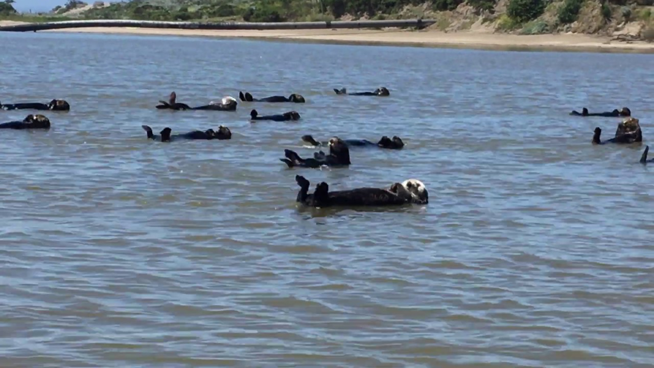 A Raft of Sea Otters Perform an Unintentionally Synchronized Backstroke Routine Across an Inlet