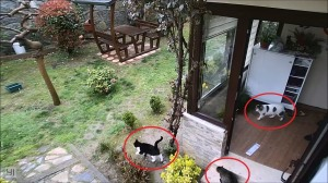 Outdoor Cats Invade Home