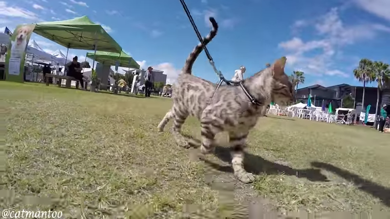 How to Gently Teach a Cat to Walk on a Leash