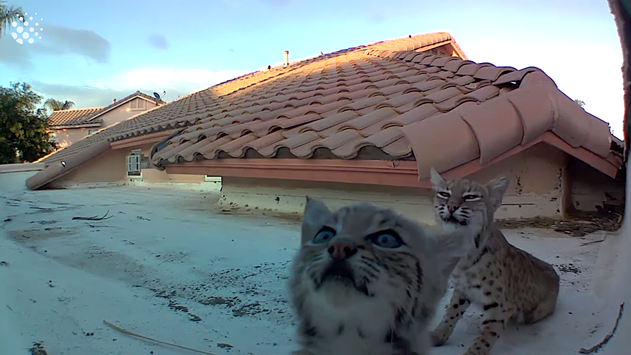 Litter of Baby Bobcats Curiously Check Out the Camera On the Tucson, Arizona Roof Where They Were Born