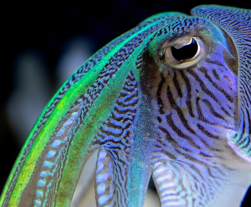 Why Cuttlefish Eyes Are Shaped Like a Rounded W