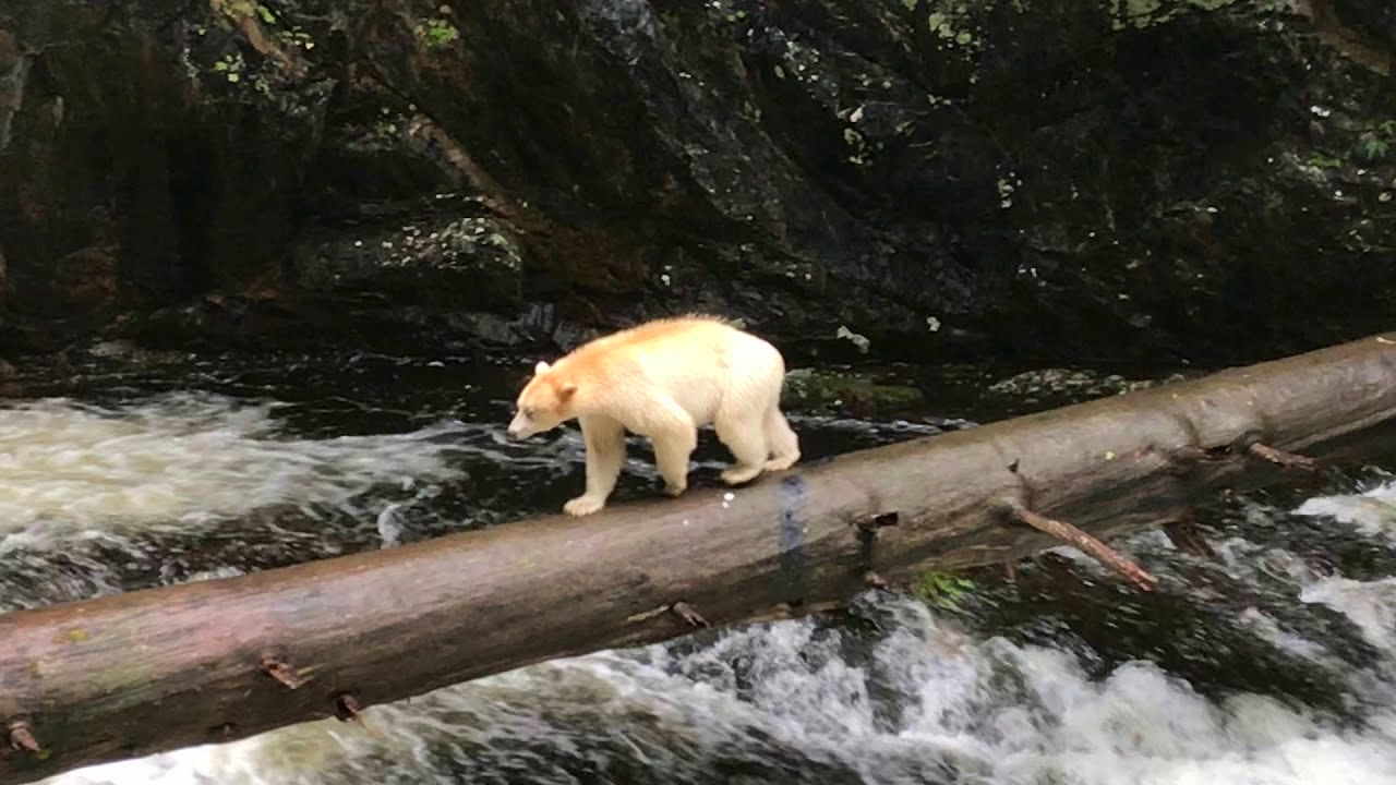 A Worker at Great Bear Rainforest in British Columbia Captures Magnificent Footage of the Elusive Spirit Bear