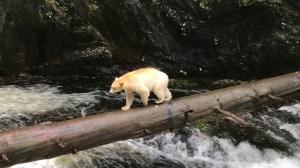 Spirit Bear Great Bear Rainforest British Columbia
