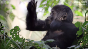 Baby Gorilla Learning How to pound chest