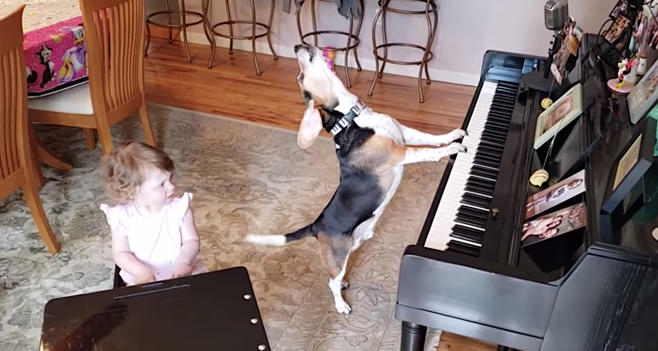 Buddy Mercury the Piano Playing Hound Dog Performs a Howling Duet With His Little Human Sister