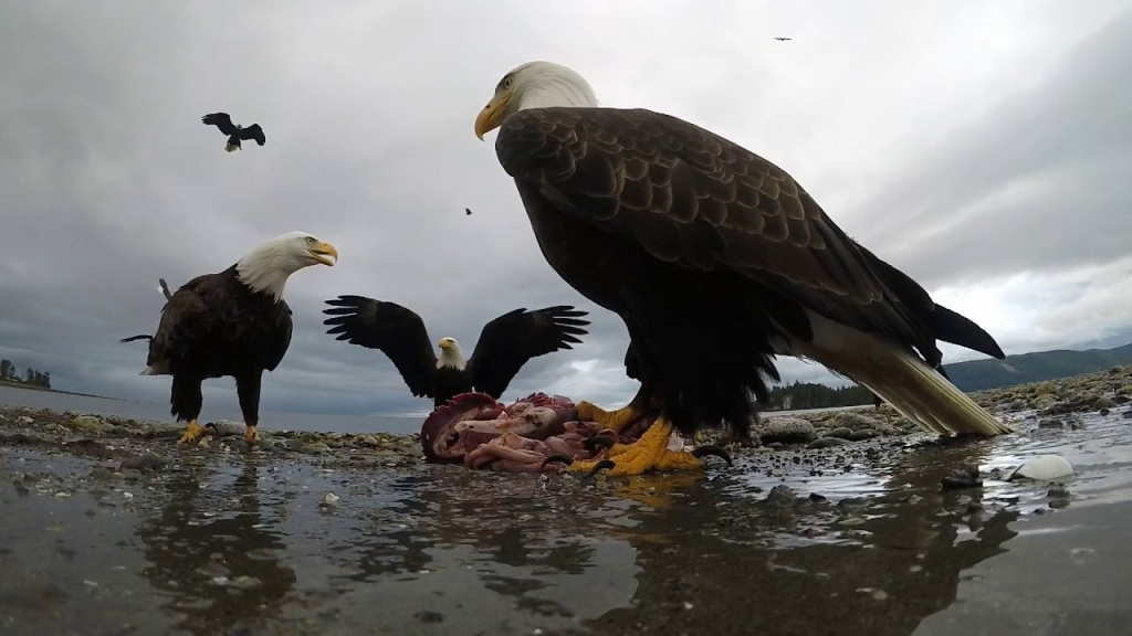 Eagle Steals GoPro Camera
