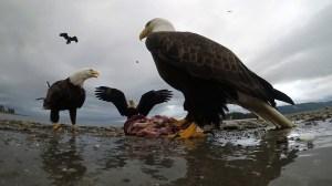Eagle Steals GoPro Camera