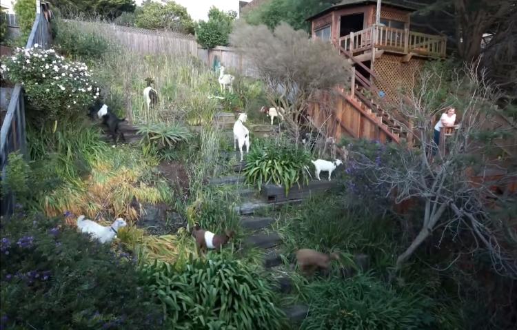 Goats eating backyard over 6 days
