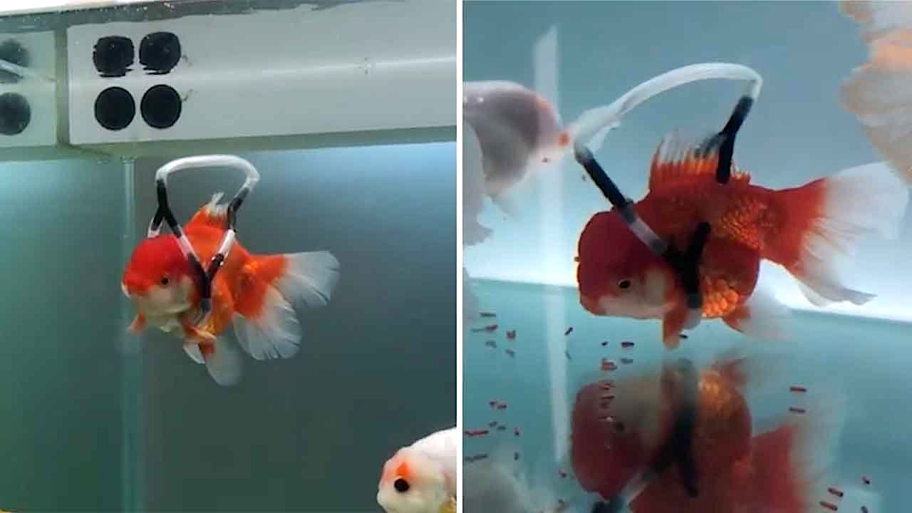 Compassionate Man Builds a Floating 'Wheelchair' Device to Help Keep His Disabled Goldfish Afloat