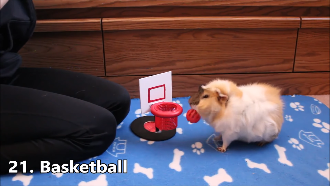 Agile Little Guinea Pig Performs a Fun Array of Tricks