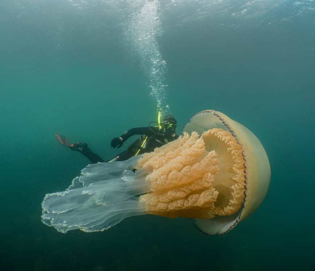 Lizzie Daly Swimming With a Giant Barrel Jellyfish