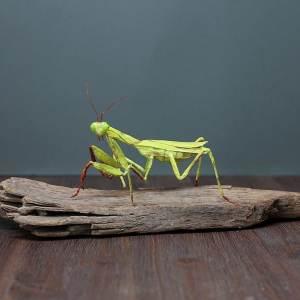 Paper European Mantis