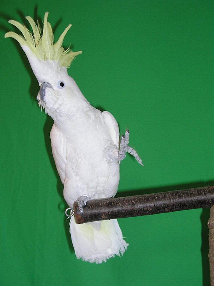Snowball Dancing Cockatoo