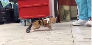 Tiny Orange Kitty Wheelchair