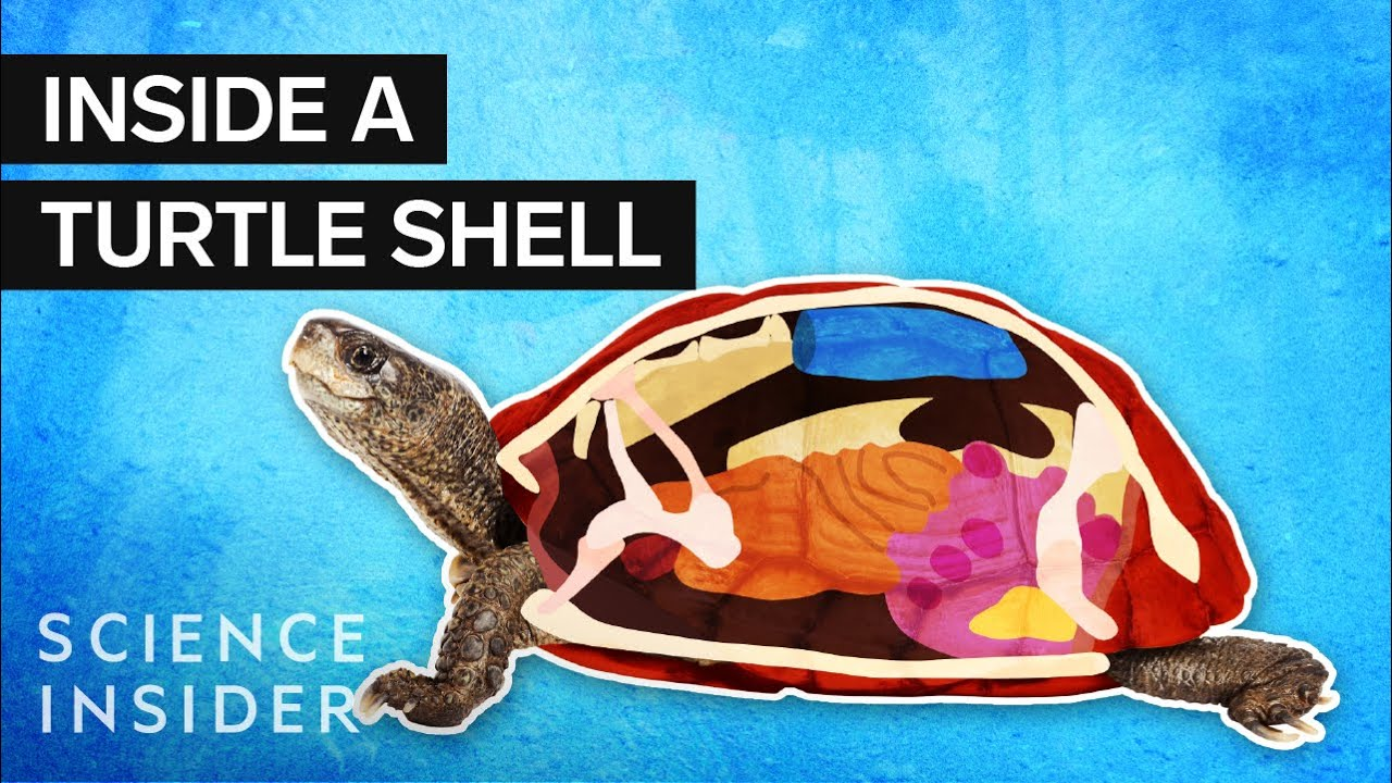 Why Turtles Can't Survive Without Their Shells
