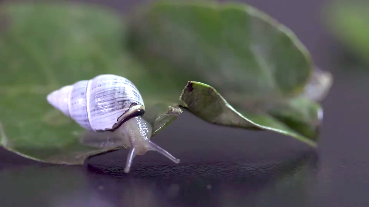 The Death of a Tree Snail Results in Species Extinction