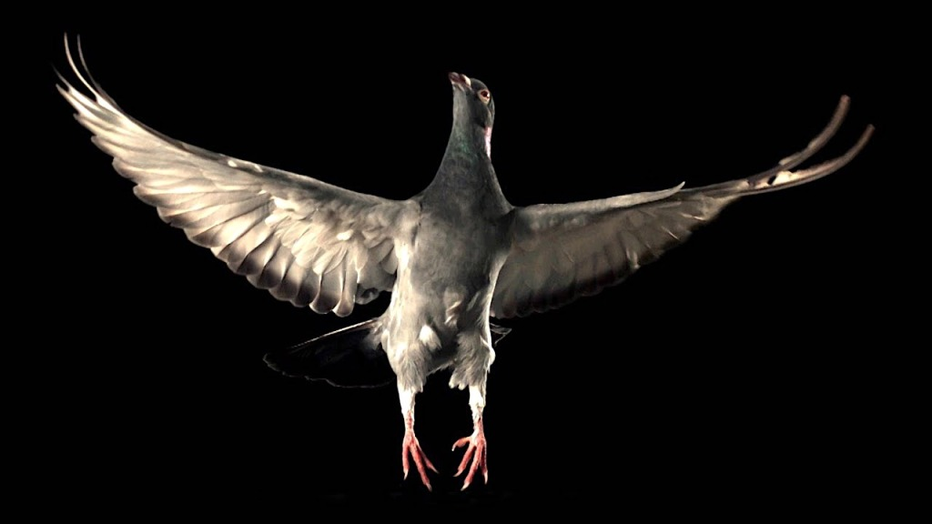 Slow Motion Pigeon in Flight