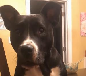 Dog Sounds Like Chewbacca