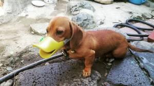 Doxie Duck Bill Dog Muzzle