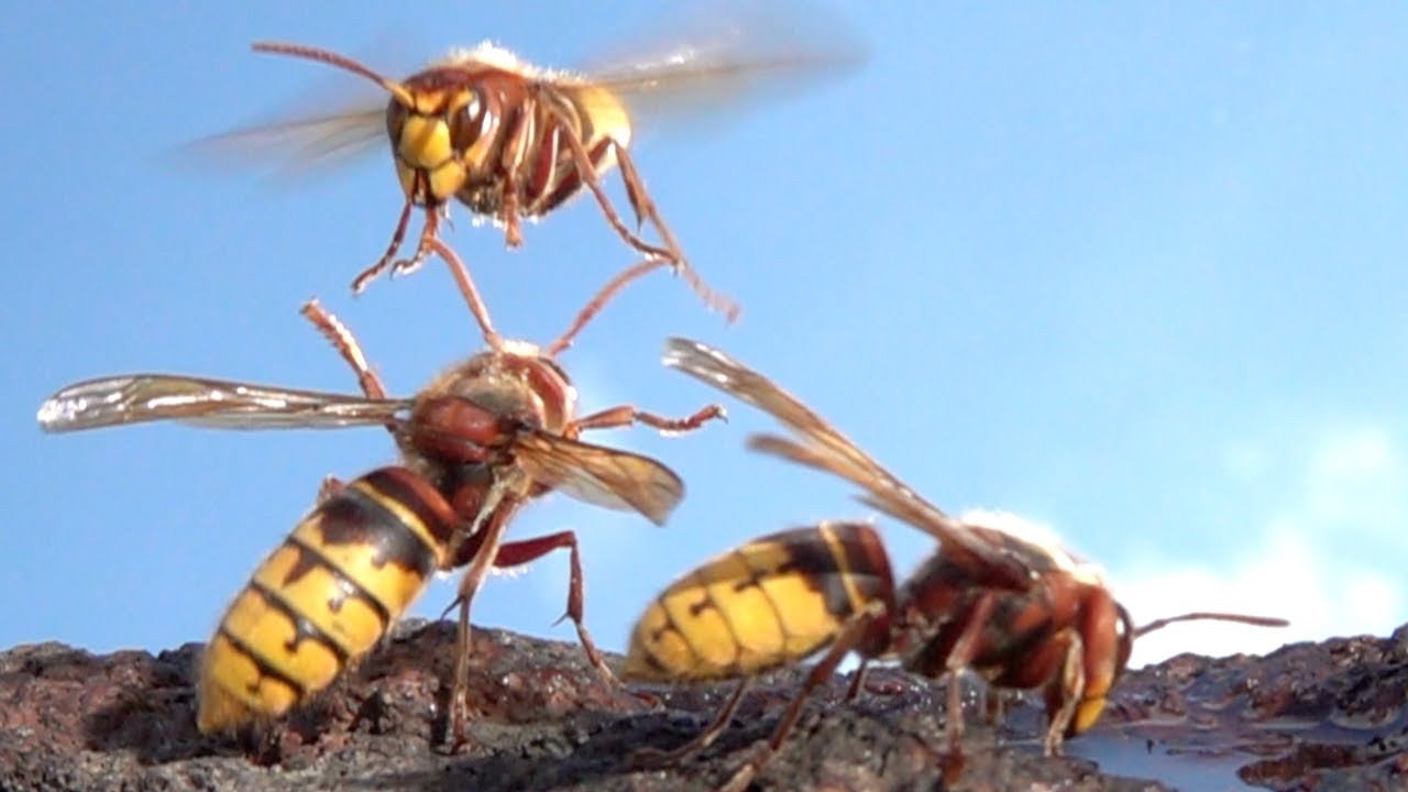 Fascinating Macro Footage of Hornets in Slow Motion