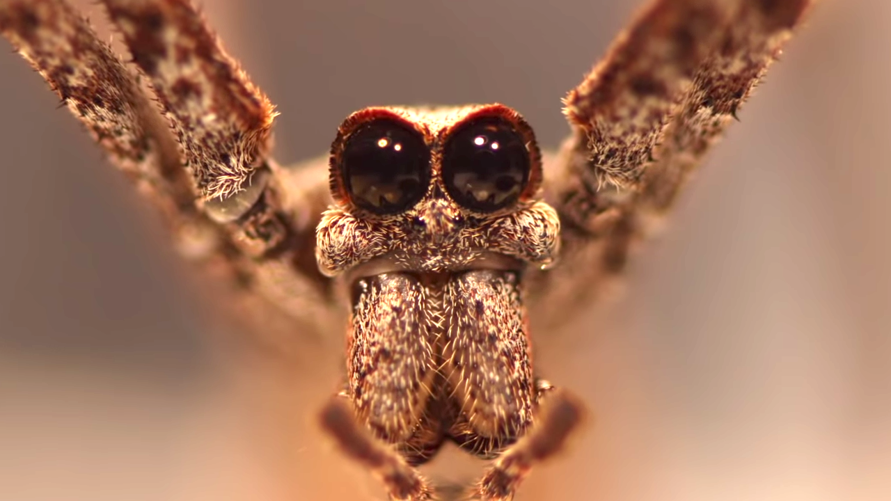 True Facts About the Ogre-Faced Net Casting Spider
