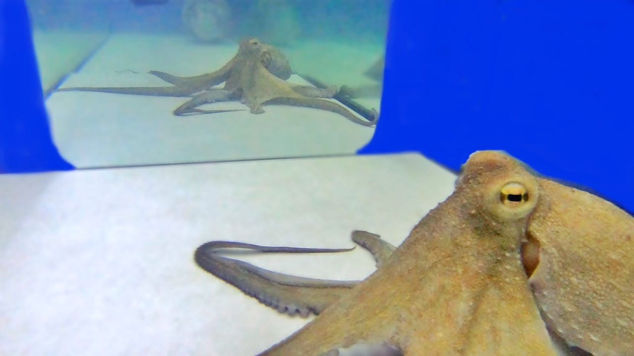 Curious Octopus Investigates His Reflection in Mirror