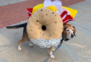 Bacon Egg and Cheese Everything Beagle