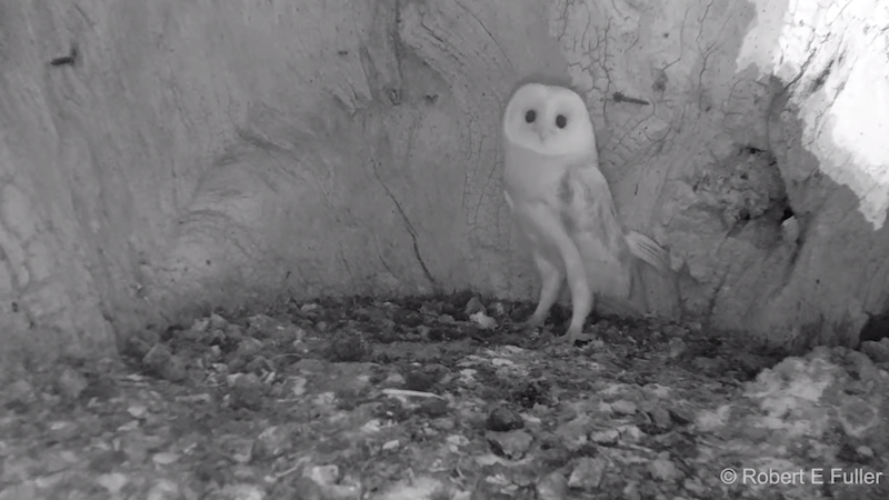 Sheltered Baby Barn Owl Jumps Back in Fear After Hearing Thunder for the Very First Time
