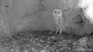 Barn Owl Baby Hears Thunder for First Time