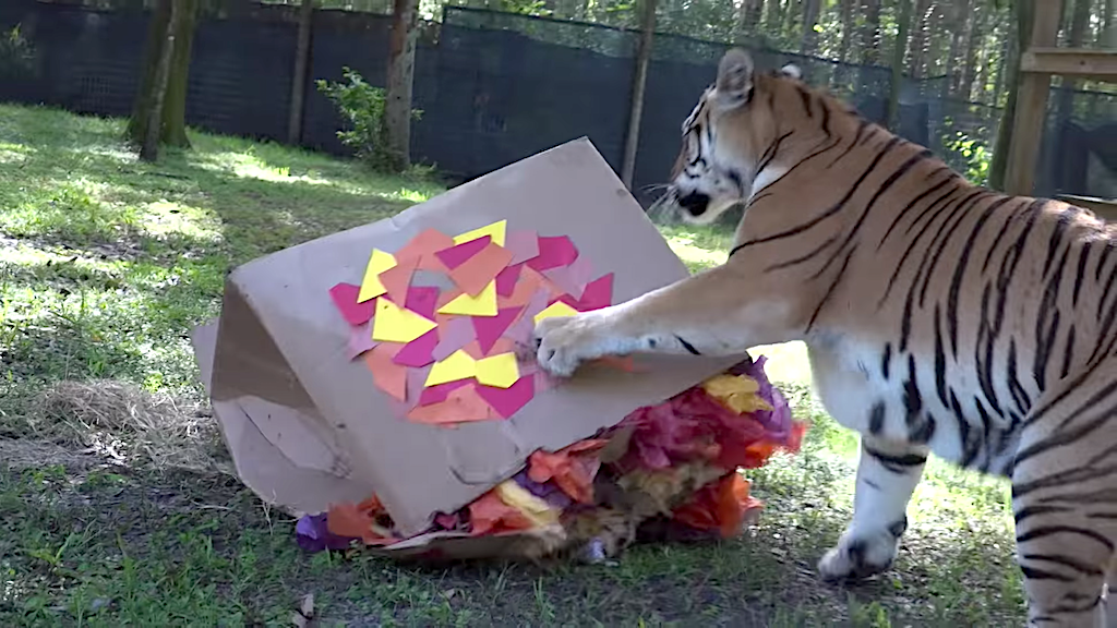 Beautiful Big Cats Act Like Playful Kittens When Given Giant Decorated Boxes at a Refuge in Tampa, Florida