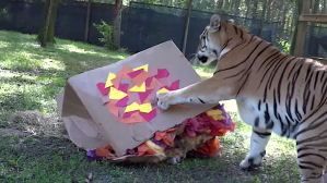 Big Cats vs Big Box