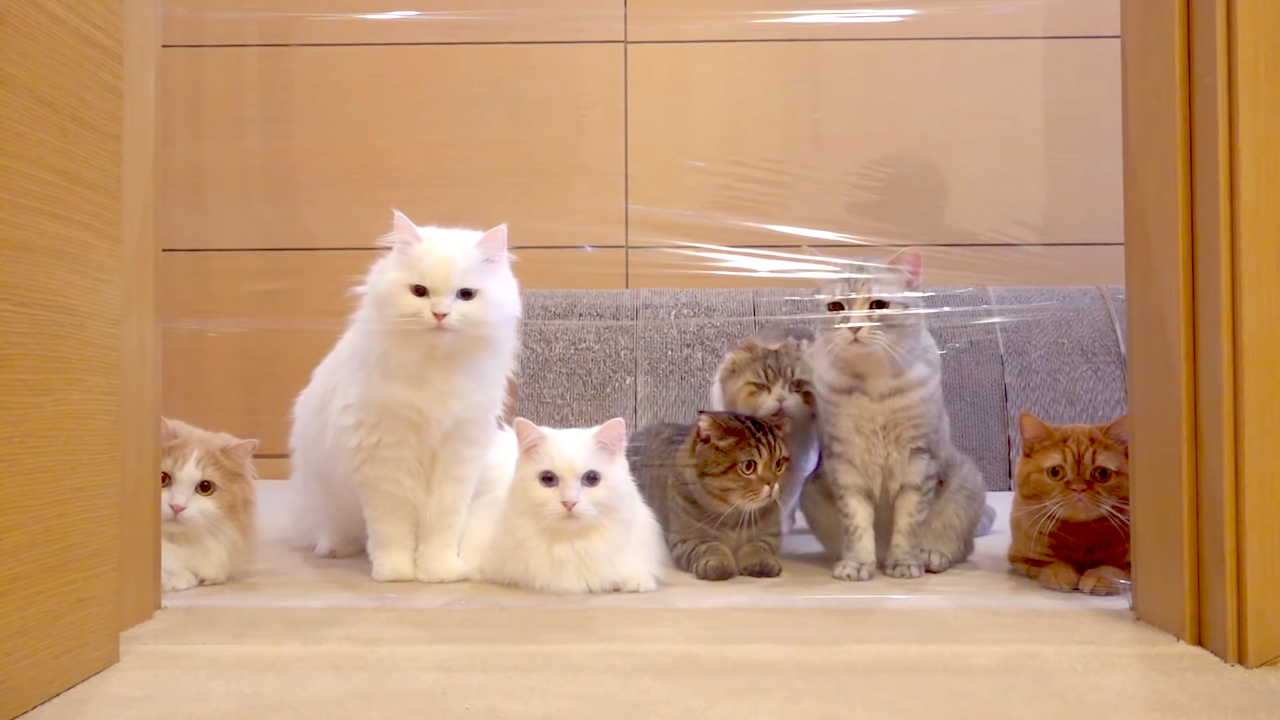 An Adorable Family of Cats Are Completely Bewildered by an 'Invisible' Wall Made of Plastic Wrap