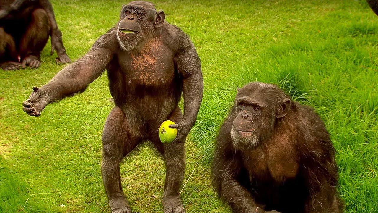 Understanding How Chimpanzees Speak To Each Other