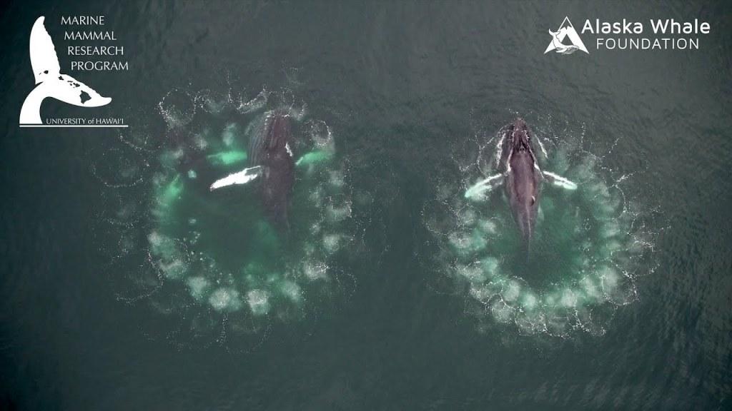 Humpback Whale Bubble Nets