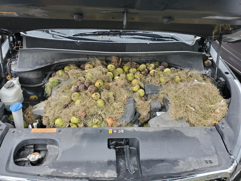 Thrifty Squirrel Stores Over 200 Nuts Under Car Hood