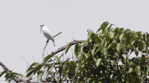 White Bellbird Loudest 125db