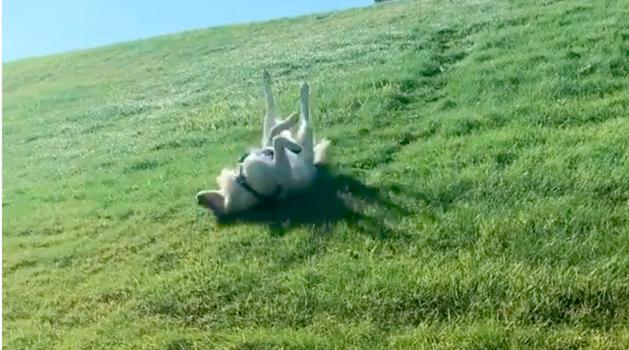 Golden Retriever Gleefully Slides Down Hills Upside Down