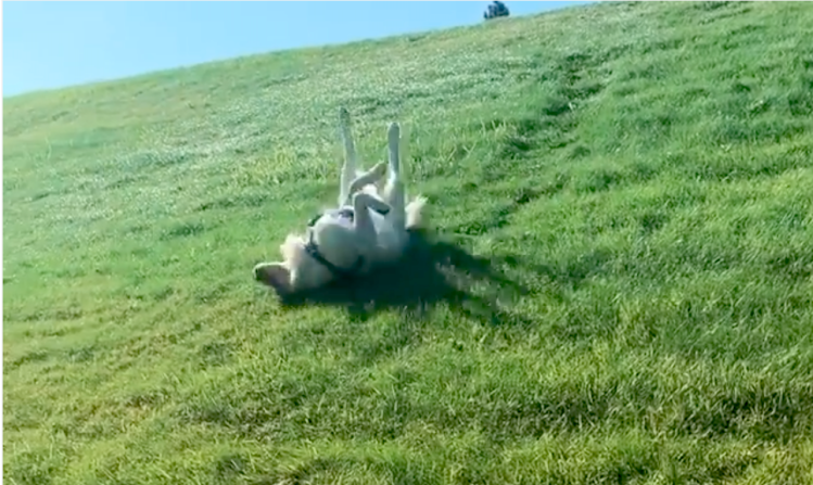 Golden Retriever Gleefully Slides Down Hills Upside Down