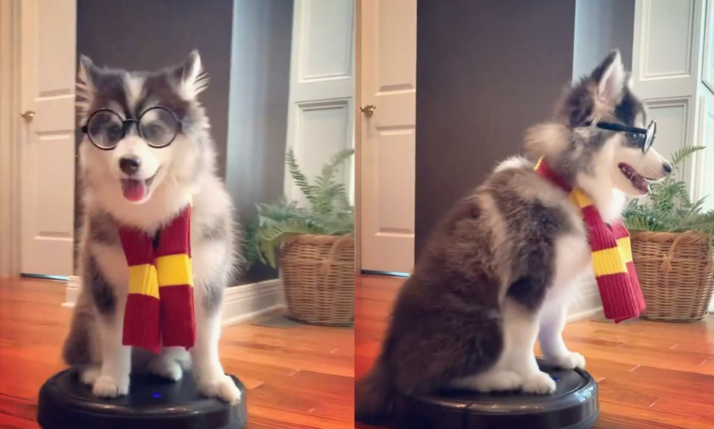 Harry Potter Dog on a Roomba