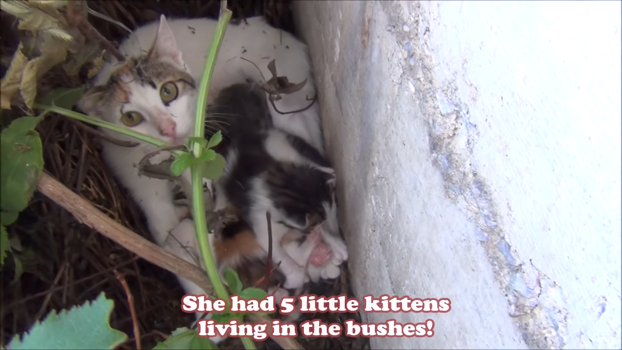 Injured Cat Seeking Help Leads Compassionate Human to Her Litter of Tiny Kittens Hidden in the Bushes