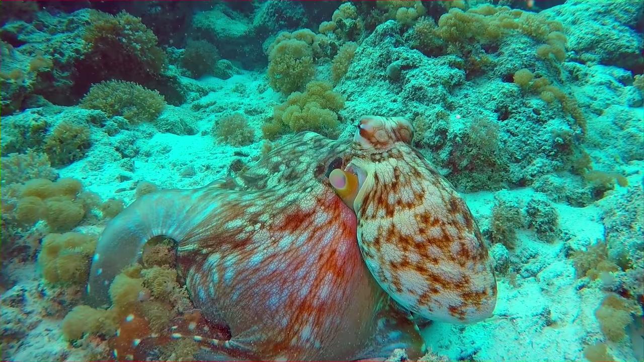 A Camouflaging Octopus Changes Color With the Ocean Floor Surroundings in the Waters Off Zanzibar
