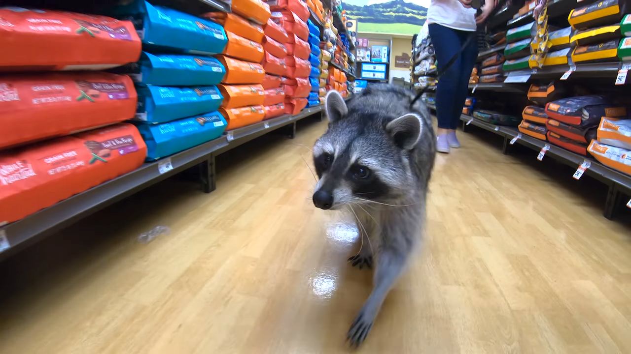 Rescued Raccoon Goes Toy Shopping at a Pet Store