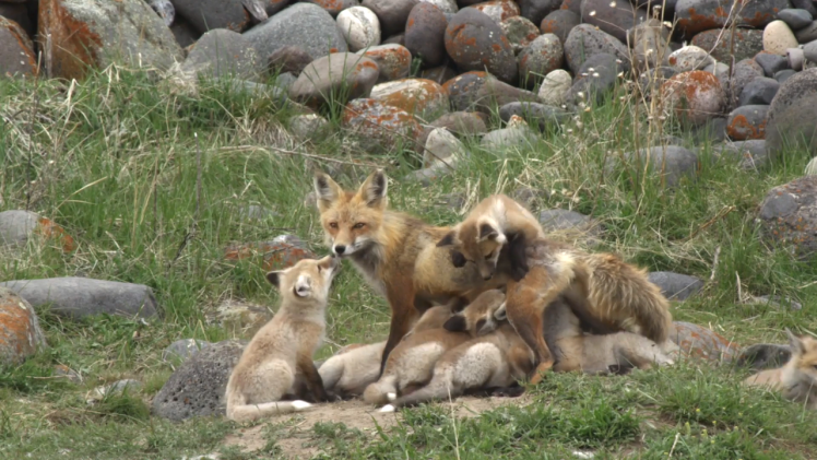Red Fox Mom and 13 Babies