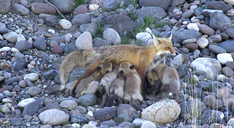 Red fox mom nursing babies