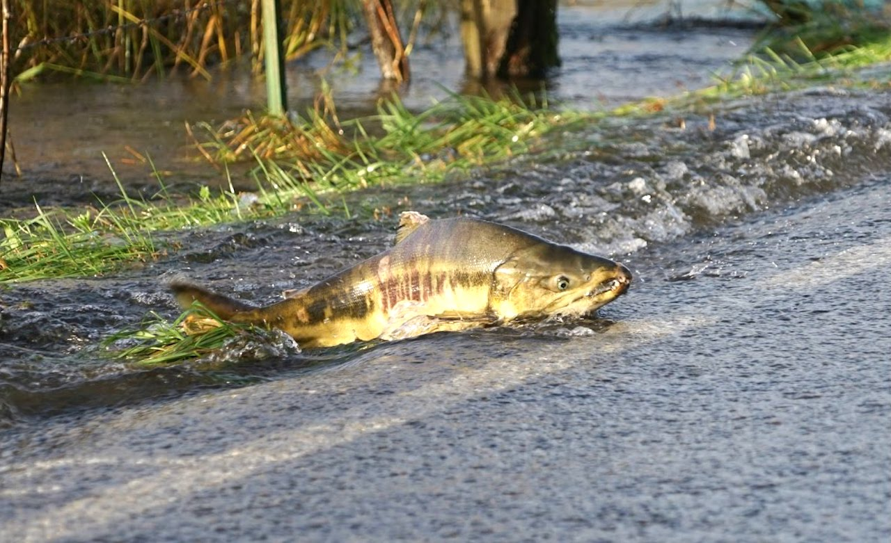 Determined Skokomish River Salmon Cross a Flooded Road While Racing Upstream to Spawn