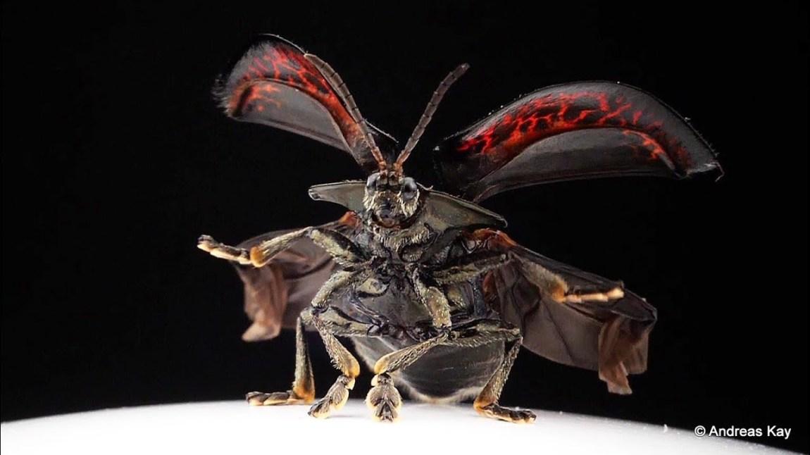 Tortoise Beetle Taking Flight Slow Motion